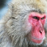 File:Japanese Macaque Fuscata Image 370.jpg – Wikimedia Commons
