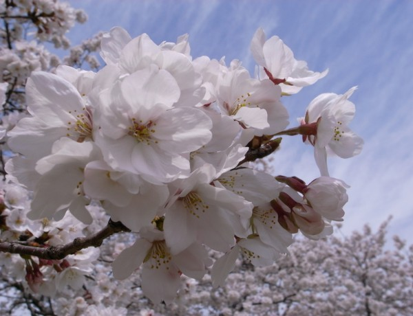 桜24 Cherry blossom | Flickr – Photo Sharing!