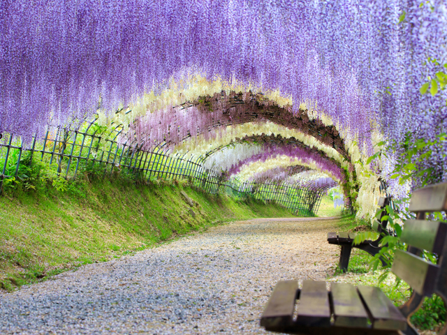 Beautiful wisteria tunnel in japan my top10 japan Wisteria flower tunnel path in japan